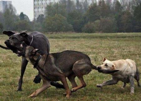 Guerra-Canina
