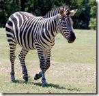 zebra-0003